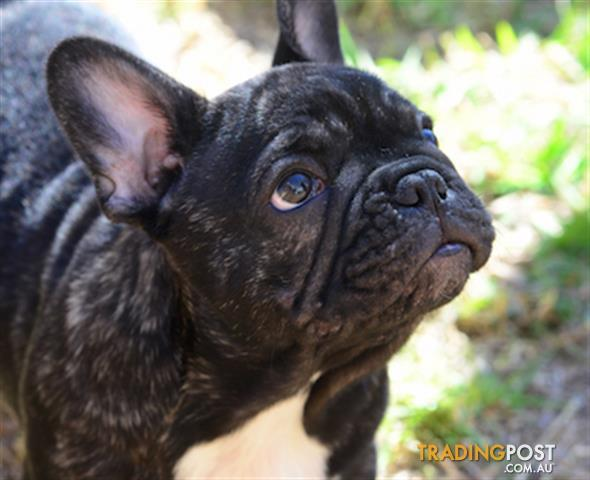 french bulldog pcci papers for sale Excellent french bulldog puppies for sale  but i want to assure everyone ben mini french bulldogs are in a class of their own my puppies have extreme baby doll faces, large eyes, apple head, and short compact bodies  all puppies will come with puppy shots, dewormings, akc limited papers, a two year genetics guarantee, a vet check.