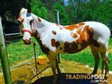 Amazing paint mare for sale