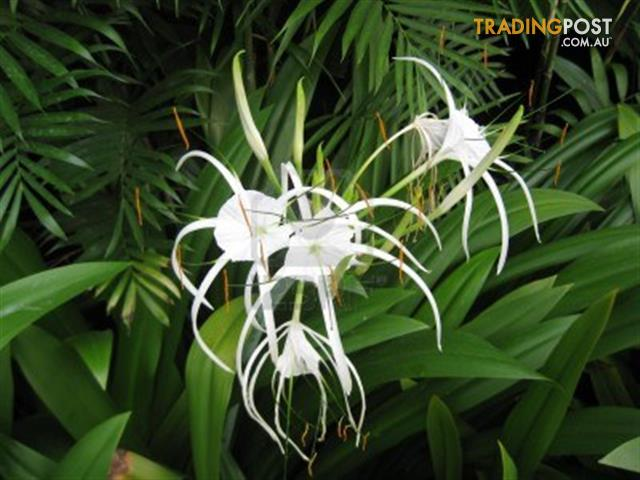 plant spider lily bulbs for sale in annandale qld plant spider lily bulbs. Black Bedroom Furniture Sets. Home Design Ideas