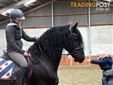 Jackson is a super sweet 9 year old gelding Friesian Horse.