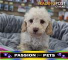 XWX1 Labradoodle Miniature Puppy, Dog - 991003000000862