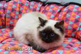 Ragdoll Kitten, Cat - 956000006487109