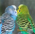 Birds - Budgies English & Australian Varieties (2 for $70)
