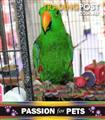 Birds - Hand Raised Eclectus Male *Special, was $1299*
