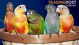 Birds - Love Birds Assorted Rarer Varieties (Pair for $140)