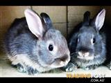 Rabbit - Baby Dwarf Rabbits (small friendly Bunnies) (call for availability)
