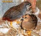 Birds - King Quails Minature (call for availability)(Pair for $25)