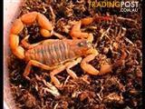 Desert Scorpion (Various Sizes)
