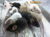 Mice - Assorted Colours, Females (available at all stores)