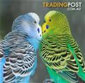 Birds - Budgies English & Australian Varieties (2 for $70)