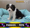 XWX1 Border Collie x Toy Poodle  Puppy, Dog - 953010001799510