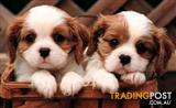 XWX1 Puppies NOW Wanted to buy, prefer litters