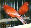 Birds - Canaries Red Factor Exotic (available now)