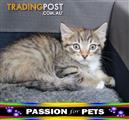 WXW1 Kitten - Domestic Short Hair Kitten, Cat - 956000009574206