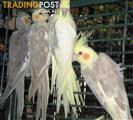 Aviary Birds - Cockateils Pied etc. (2 for $120)
