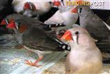 Birds - Zebra Finches (call for availabilty)