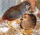 Birds - King Quails Minature (call for availability)(Pair for $25)