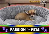 XWX1 Chihuahua Tea Cup Puppy, Dog - 956000009511739