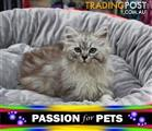 WXW1 Kitten - Ragdoll x Chinchilla Kitten, Cat - 956000005362994