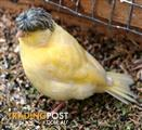 Birds - Canaries Fancy Exotic and different (Pair for $120)