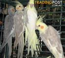 Aviary Birds - Cockateils Pied etc. (2 for $120)