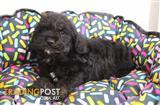 Spoodle (Toy Poodle x Cocker Spaniel) Puppy, Dog - 953010002037468
