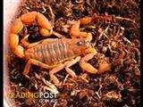 Desert Scorpion (Various Sizes)