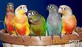 Birds - Love Birds Assorted Rarer Varieties (Pair for $140)