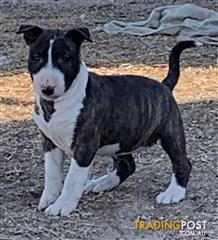 Find Bull Terrier puppies for sale in Australia