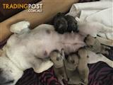 3/4 French bull dogs