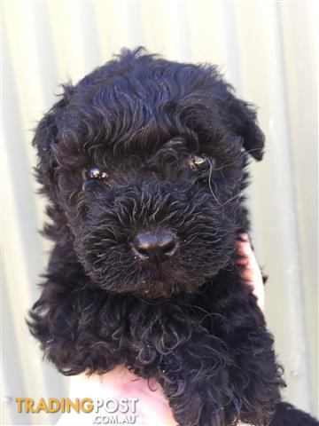 Hungarian puli purebred puppies for sale in frankston vic hungarian puli purebred puppies solutioingenieria Gallery