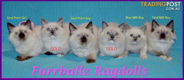 Stunning Pedigree Ragdoll Kittens for sale!