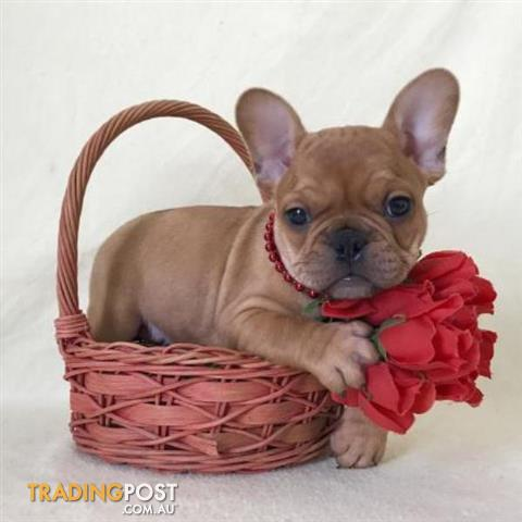Registered French Bulldog Puppies VIEW WEBSITE