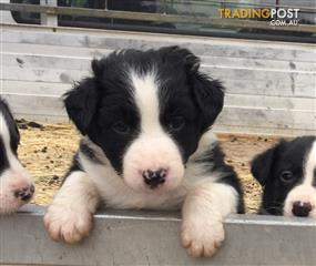 Find Border Collie puppies for sale in Australia