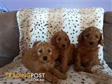 Red & Gold Spoodle Puppies