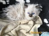 Purebred Ragdoll Kitten ** UPDATED 24/05 **