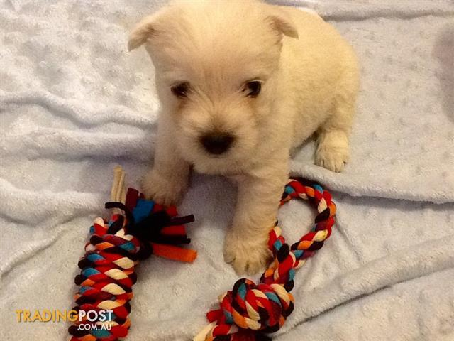 West Highland White Puppies. 4 purebred puppies for sale 3 males 1 female.h