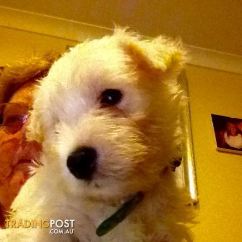 West Highland White Terriers 3 Male, NSW