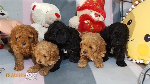 Cavoodle pups, 4 gorgeous girls, 1 handsome boy (ONLY 2 LEFT)