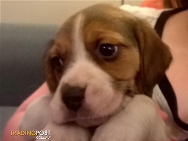 Beautiful beagle x husky puppies
