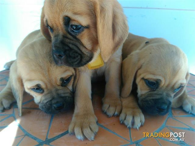Puggle puppies ( beagle x pug )