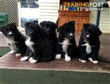 Border Husky puppies for sale