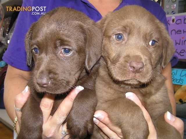 Puppy labrador for sale brisbane