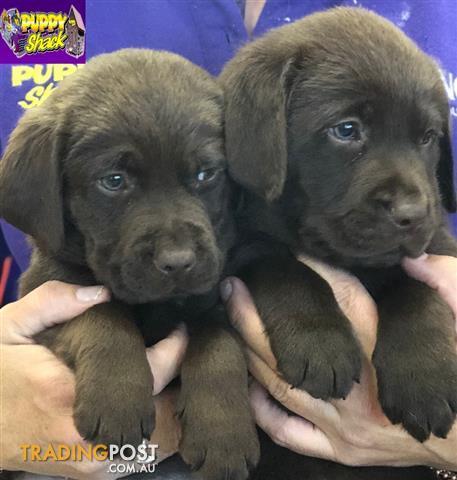 Labrador Chocolate Puppies At Puppy Shack Brisbane