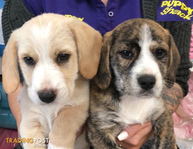 Beagle brisbane
