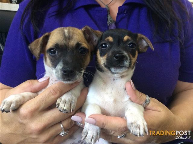 Jack Russell X Chihuahua Jackchi Puppies At Puppy Shack Brisbane