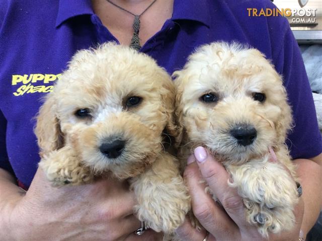 Labradoodle Labrador X Poodle Puppies At Puppy Shack Brisbane