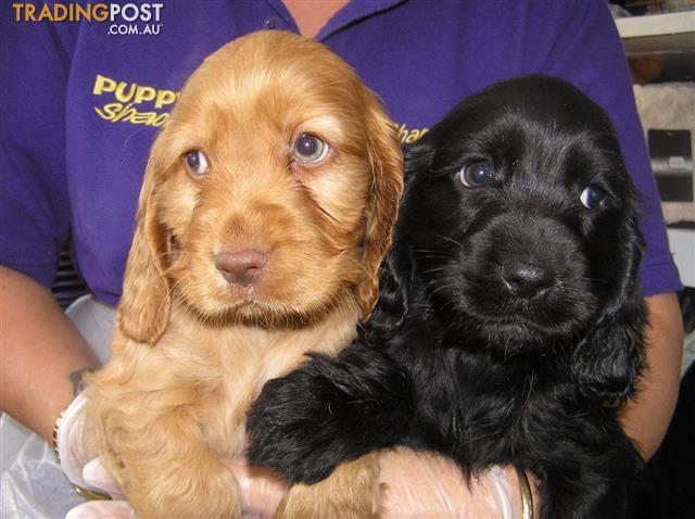 Cocker Spaniel Puppies at Puppy Shack Brisbane for sale in Queensland Australia