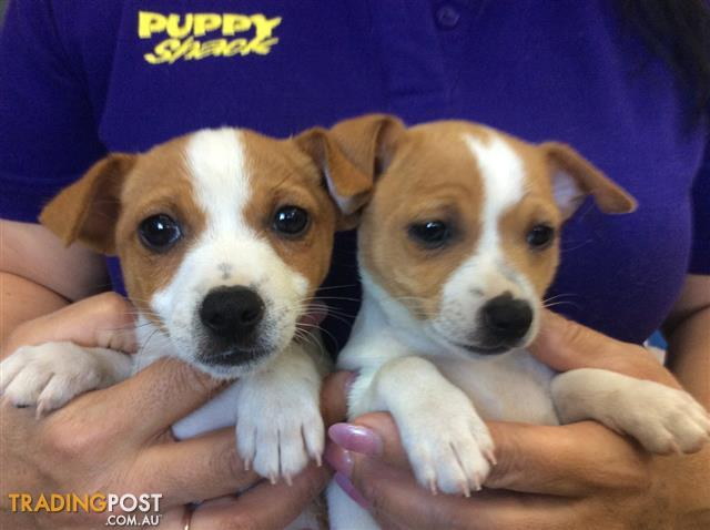 Free Dogs And Puppies In Qld