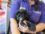 Cavoodle Puppies at Puppy Shack Brisbane